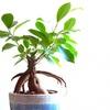 ズボラさんでも育てられる観葉植物【ガジュマル】はプレゼントにおすすめです