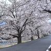 上賀茂神社から半木の道にかけて賀茂川沿いの桜のトンネルが見事です。(Kyoto,Kamigamojinjya,Nakaraginomichi)