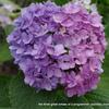 キメラな紫陽花