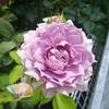 紫のバラではないけれど