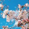 グンマーもやっと桜が満開です(^^♪