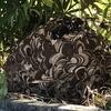 掛川市で垣根にできた変な形のスズメバチの巣を駆除してきました!