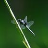 「蜻蛉」。