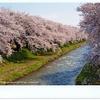舟川べりの桜とタラ汁の旅♪