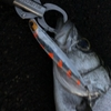 1月11日 今年初魚はヒラスズキ