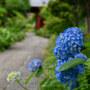 【京成中山】紫陽花 と 中山法華経寺 June 2019