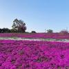 国道近くの行きやすさで一面の芝桜、八王子山公園