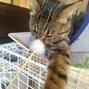 【猫とハイドロカルチャー】ついに手が届いてパリーンだよねー。