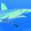 世界の海で出会った魚図鑑【ペレスメジロザメ】