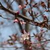 桜咲く(4月26・27日)