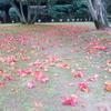 椿の群生林で自然の力強さと赤い絨毯を楽しむ ~山口県萩市笠山・椿群生林~