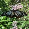 【画像有り】謎の生態!旅する蝶アサギマダラの不思議な魅力
