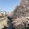 神田川「伏見橋」付近の桜。。。