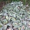 冬の庭を彩るシルバーリーフ