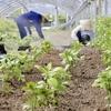 琉球藍の栽培