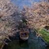 十石舟と桜の宇治川派流@2020