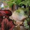 T-REXとレックスベコニア ジャングルを作れる観葉植物たち♪
