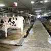 搾乳の役割を終えた牛たちを肉用牛として活用