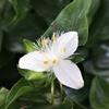 トキワツユクサとムラサキツユクサ属の花たち