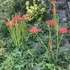 近所の彼岸花と家の植物(セージ、唐辛子、ワイルドベリー、ミント、ジャスミン、マリーゴールド、ガーデンシクラメン、インパチェンス)