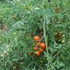 カオス状態のトマトたち