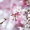 枝垂れ桜 03/31