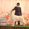 アイビーJKCチャンピオン★モリーはじめてのドッグショー★いろんな犬種さん、MIX犬さんステッカー