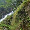 モミジバセンダイソウ  滝の植物
