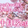 十月から春まで咲き続ける秋咲きの桜、十月桜(ジュウガツザクラ)とは