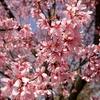 花と桜前線