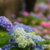 紫陽花(あじさい)のおはなし
