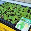 白菜の芽の間引き
