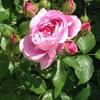 薔薇がいっぱい♪