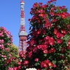 【写真一発!】Rose and the tower