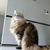 ノルウェージャンフォレストキャットの「ノル」ついに母の介護を手伝い始める! 介護猫!