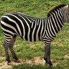 シマウマの特徴:web動物図鑑