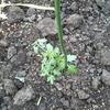 ミニトマト植え付け/春の花/ふんわりショコラ
