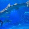 「沖縄美ら海水族館」に行ってきました