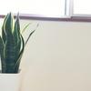 【観葉植物】サンスベリアの株分けのコツ