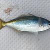 日本海で「釣りざんまい」の休日を楽しんできました~🎵 【 1日目:初日はエサ釣りで多目フィッシング💪 】