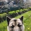 保護犬ジョンコちゃんお花見散歩🌸