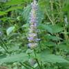 きりたんぽのように咲く紫色の花カワミドリ。色々な虫たちの集まるお花