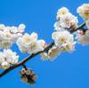 写真作品「根岸森林公園の梅」 #EOSM6 #梅