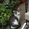近所の猫達のこと③あじさい