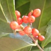 赤い木の実、白い木の実