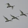 カワウ、コハクチョウ、ミサゴ 河北潟で撮りました