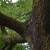 クヌギの木を蹴ってみると