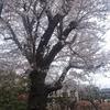 桜の開花の仕組みについて