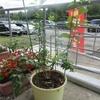 〈ういず〉ブルーベリーの苗木をいただきました!!