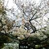 生田川公園の花見と王子動物園の通り抜け 桜の開花状況